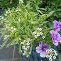 青樽の春の寄せ植え♪斑入りのアリッサム