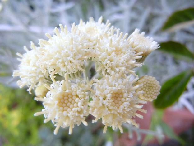 シルバーリーフの花