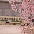写真: *桜と路面電車*