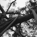 独樹成林 中国打洛 A giant banyan tree at Daluo