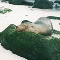 アシカの夢 ガラパゴス Galapagos Sea Lion,Española Island