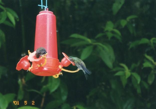 蜜吸うハチドリ コスタリカ  Hummingbirds ,Costa Rica