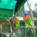 赤い涎掛け・片足両足、各鳥各様  Red lory,Indonesia