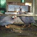 比翼連理の語らい(ホロホロ鳥) Pearly bird (Guinea Fowl)