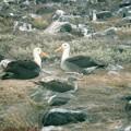 ガラパゴスアホウドリGalapagos Albatrosses on Española Island