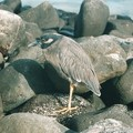 メランコリーか?根暗か?Galapagos yellow-crowned night heron