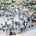 死骸に群がるハゲワシとアフリカハゲコウVultures & Marabous