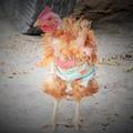 写真: 嫌な予感の酉年 Fowl tells my fortune