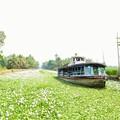 萍の花の中なる船路かな Moving through thick duckweeds