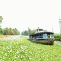 Photos: 萍の花の中なる船路かな Moving through thick duckweeds
