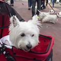 Photos: 白犬まつり