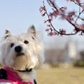 写真: オカメ桜とはな