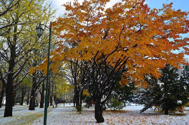 雪の北大紅葉1s