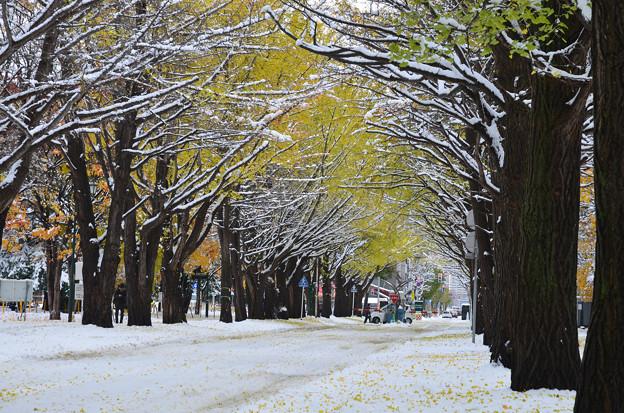 雪の北大イチョウ並木4s