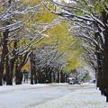 Photos: 雪の北大イチョウ並木4s
