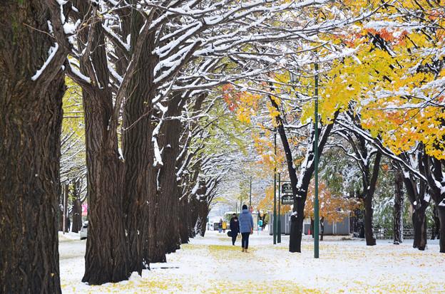 雪の北大イチョウ並木3s
