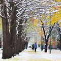 Photos: 雪の北大イチョウ並木3s