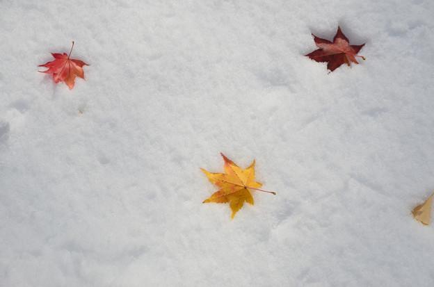 雪の北大紅葉3s