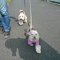 写真: 110410 くー&みらのさくら散歩 1