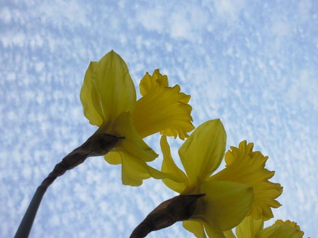 ラッパスイセンと春の空。 ...
