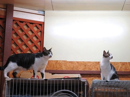 ココア&サブレ「シモンがウロウロしてるのを見てるんだ」