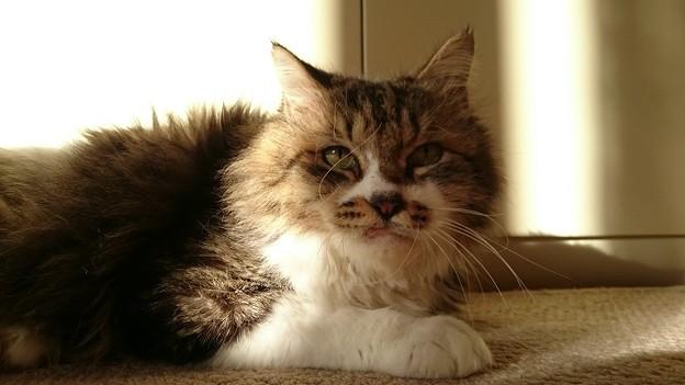 Photos: ポム「やっぱり猫と言ったら日向ぼっこだよな」