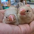 写真: シナモン文鳥のベビーです!...
