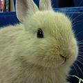 写真: ミニウサギ。 ネザーランド...