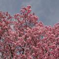 ヨウコウザクラ(陽光桜) 25032017