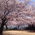 Photos: 2015 桜