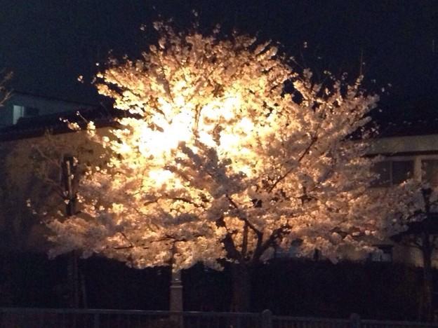 写真: 2015 桜