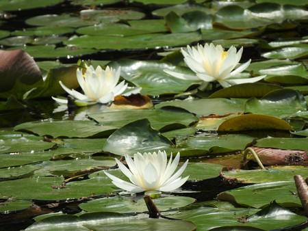 京成バラ園 睡蓮の池05
