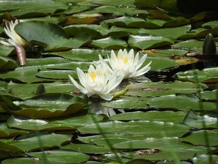 京成バラ園 睡蓮の池06