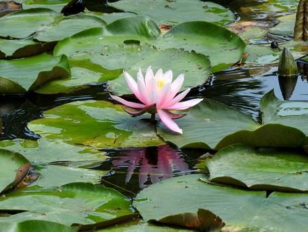 京成バラ園 睡蓮の池09
