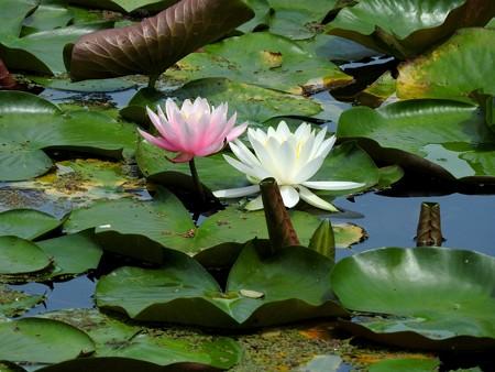 京成バラ園 睡蓮の池10