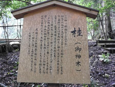 貴船神社 結社06 桂(御神木)
