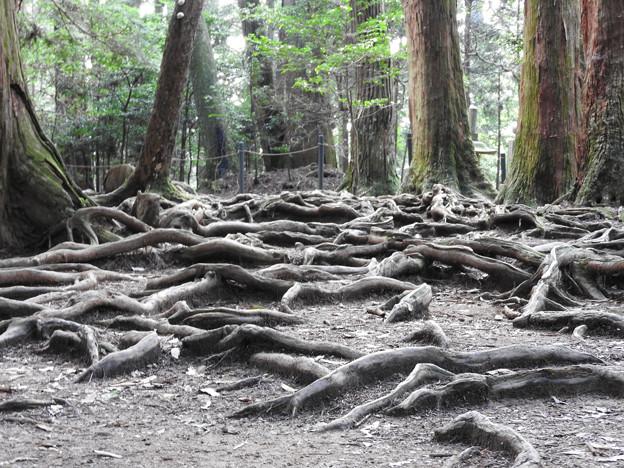 鞍馬寺22-1 木の根道 地上に現れた龍脈のよう