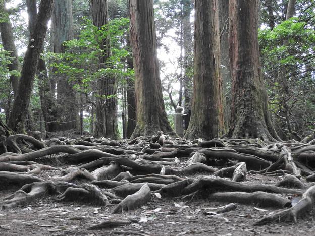鞍馬寺24 木の根道 磐に椙