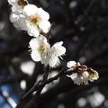 写真: 梅の精2