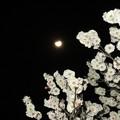 写真: 梅月夜 1