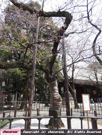 これが靖国神社の桜の標本木です