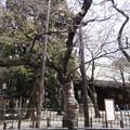 写真: これが靖国神社の桜の標本木です