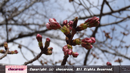 千鳥ヶ淵の桜、只今準備中