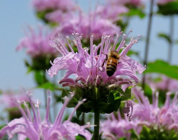 Photos: ハーブ園のお花