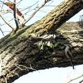 高木のエナガ