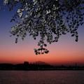 夕暮れ桜 II