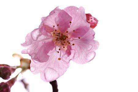 2015.03.04 和泉川 カワズザクラ