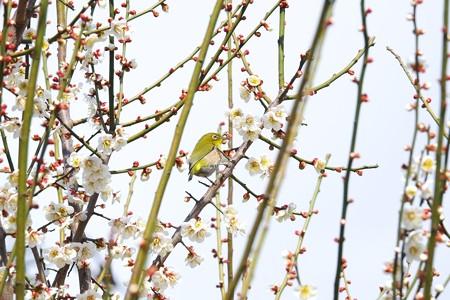 2015.03.04 和泉川 梅にメジロ