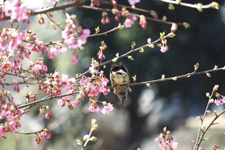 2015.03.11 和泉川 河津桜にヒヨドリ
