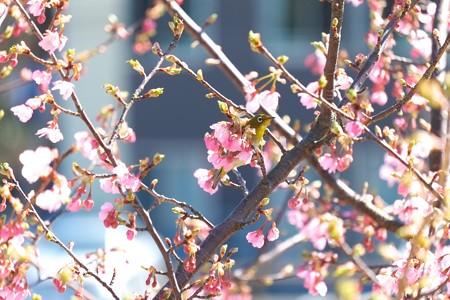 2015.03.11 和泉川 河津桜にメジロ